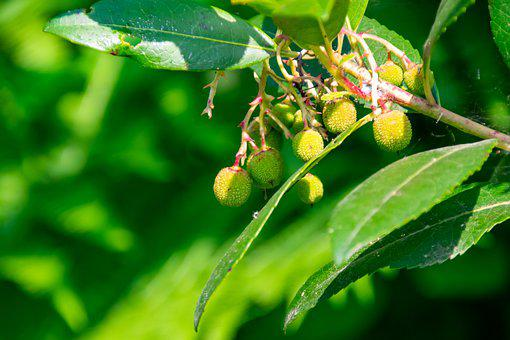 Strawberry Tree, Plant, Fruit, Nature, Tree, Red