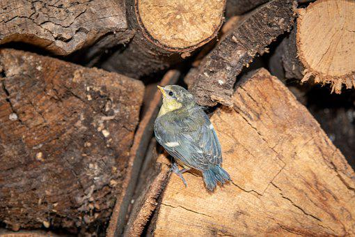 Blue Tit, Bird, Birds, Plumage, Animal World, Garden