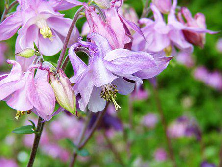 Columbine, Wild Flower, Blossom, Bloom