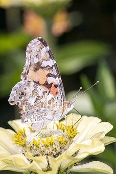 Vanessa Cardui, Butterfly, Edelfalter, Nymphalidae