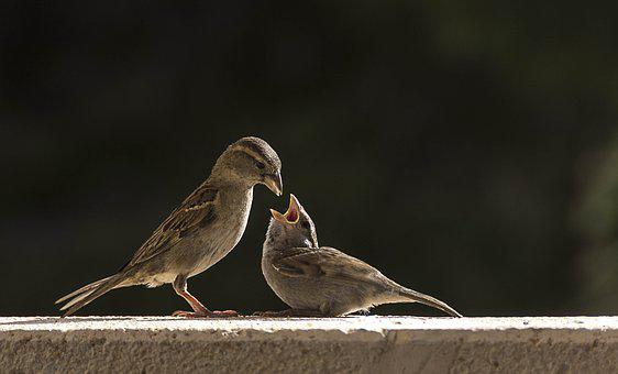 Birds, Gorrion, Sparrow, Animals, Plumage, Pen