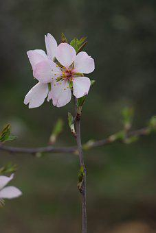 Spring, Almond Blossom, Nature, Tree