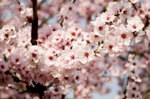 Almond Blossom, Tree, Pink, Bloom, Almond Tree
