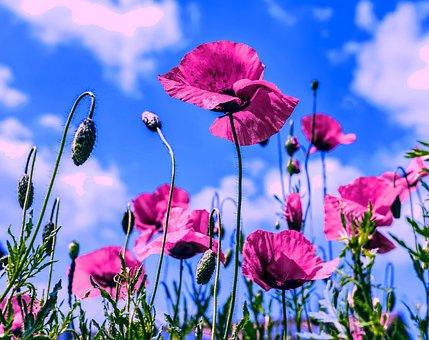 Poppies, Pink, Poppy, Bloom, Blossom, Spring, Summer