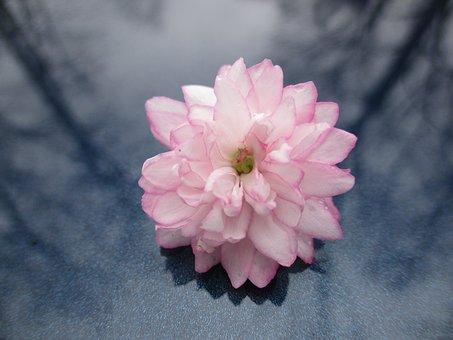 Almond Tree, Flowering Almond, Pink Flower, Tree