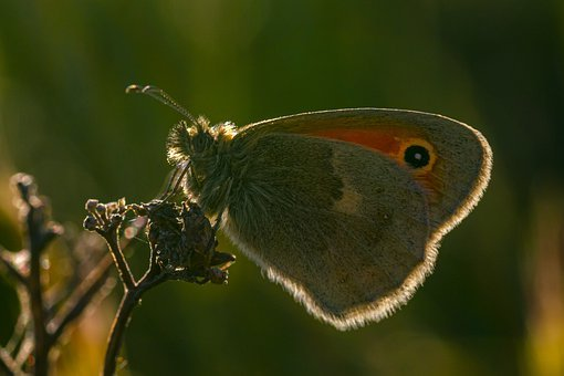 Large Heath, Coenonympha Tullia, Butterfly, Grass
