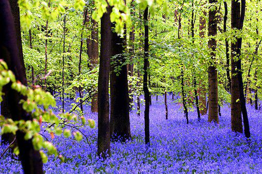 Forest, Hallerbos, Nature, Flowers, Spring, Hiking