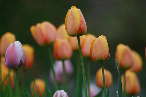 Tulips, Nature, Macro, Spring, Rest, Valentine's Day