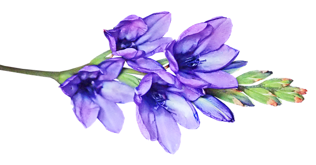 Flower, Stem, Mauve, Babiana, Bulb, Garden, Nature