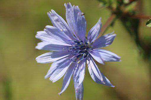 Chicory, Blue, Blossom, Bloom, Flower, Wild Flower