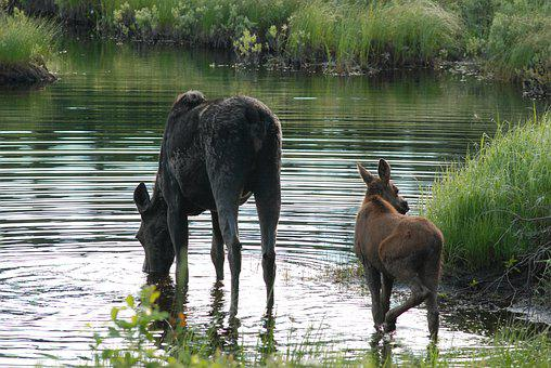 Moose And Cow, Heading Out, Moose, Pair, Family, Lunch