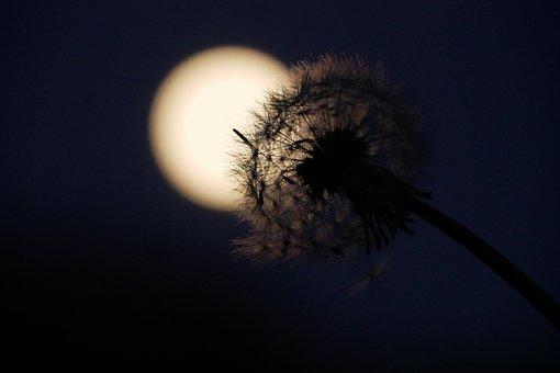 Night, Moon, Dark, Shadow, Dandelion, Outline