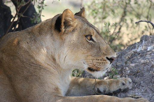 Lioness, Africa, Safari, Lion, Wildcat, National Park