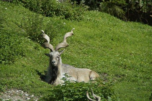 Capricorn, Alpine Ibex, Alpine, Concerns, Cozy, Horns