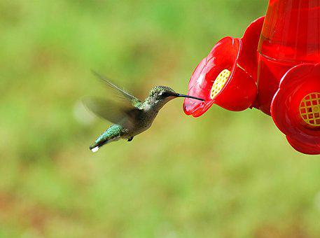 Hummingbird, Feeder, Bird, Small, Tiny, Wings, Animal
