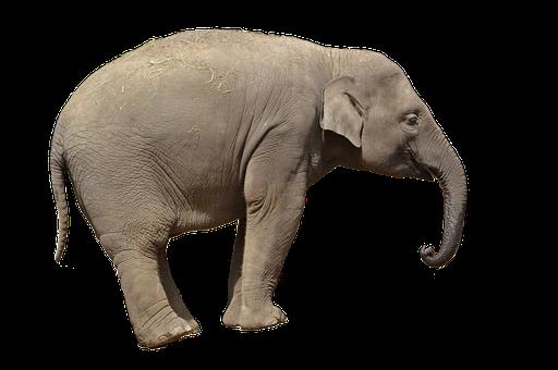 Elephant, Animal, African, Nature, Mammal, Wildlife