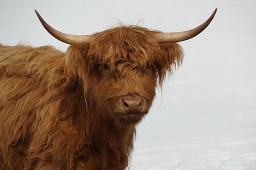 Cow, Furry, Hairy, Brown, Horns, Farm Animal, Animal