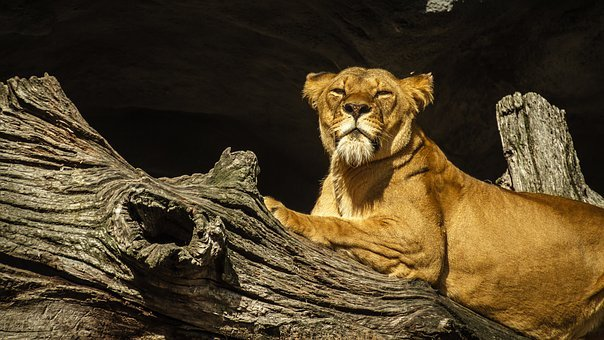 Panthera Leo, Lion, Lioness, Female, Zoo, Hagenbeck