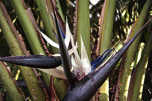 Strelitzia, Hardy, Flower, Lines