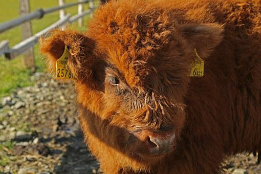 Galloway, Egg, Beef, Cattle, Animals, Agriculture, Cow