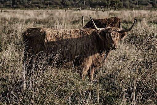 Galloway, Beef, Livestock, Scottish Hochlandrind