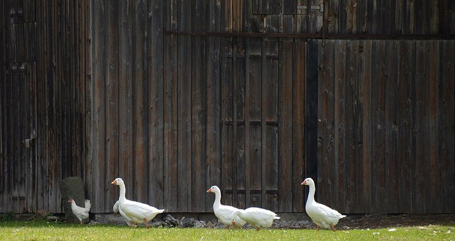 Single File, Geese Theater, Yard Gate, Barn, Backdrop