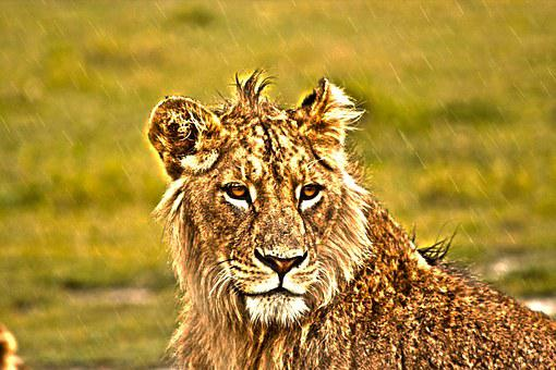 Lion, Savannah, Lioness, Feline, Africa, Animal, Wild