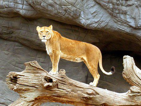 Lioness, Lion, Cat, Lion Females, Predator, Wildcat