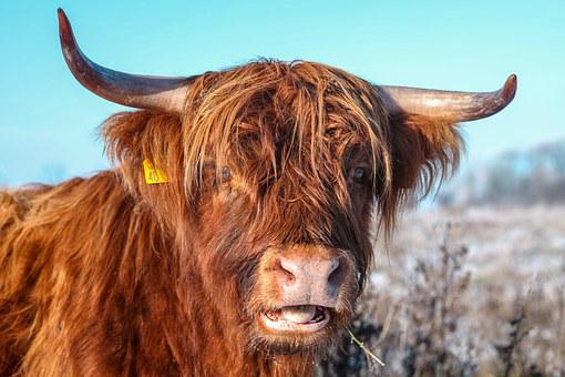 Beef, Fur, Livestock, Animal, Head, Horns, Dear, Shaggy