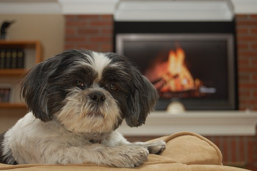 Shih-tzu, Dog, Pet, Animal, Canine, Shaggy, White, Fur
