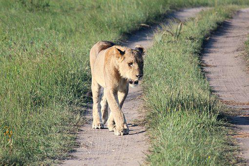 Lioness, Wild Life, Predator, Walk, Dirt Road