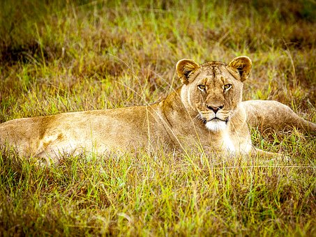 Lioness, Predator, Big Cat, Lion Females, Wildcat