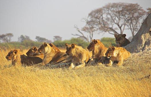 Amimals, Lions, Africa, Predator, Pride, Wildlife