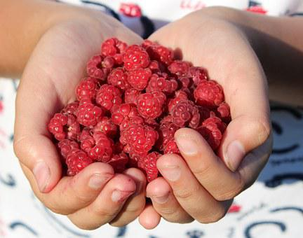 Raspberry, Berry, Handful, Hands, Closeup, Red