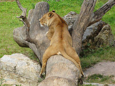Lioness, Relax, Tree Trunk, Zoo