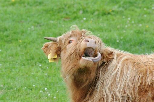 Scotland, Highland Beef, Pasture, Scotland Beef, Shaggy