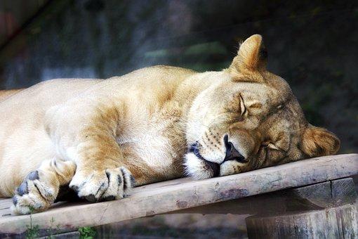 Lioness, Animal, The Zoo, Košice Slovakia, Sleep