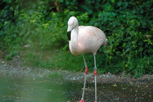 Flamingo, Zoo, Zurich, Bird, Water Bird, Pink
