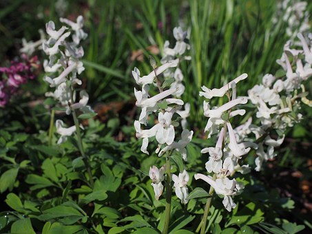 Corydalis, Blossom, Bloom, Plant, White