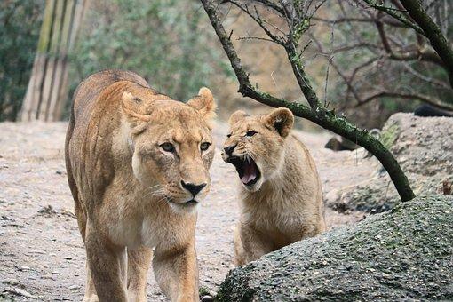 Lion, Cat, Predator, Animals, Wildcat, Africa, Female