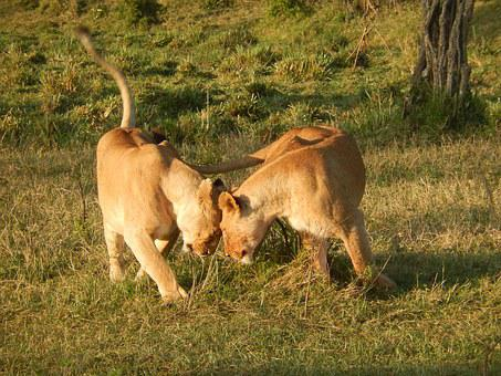 Lion, Africa, Big Cat, Lioness, Wildcat, Kenya, Animals