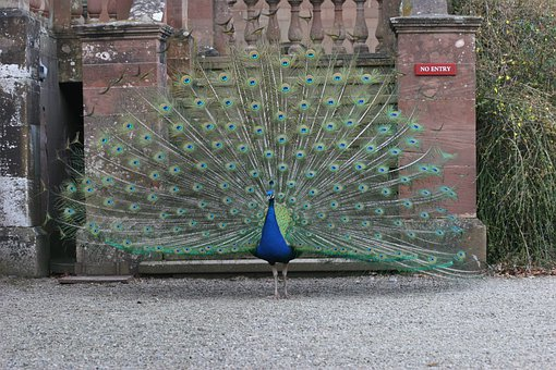 Peacocks, Peafowls, Birds, Male, Wildlife, Blue