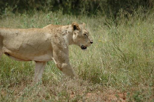 Lioness, Lion, Cat, Wild, Animal, Africa, Wildlife