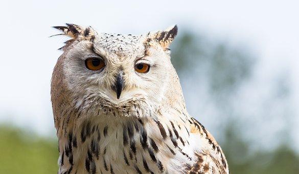 Eagle Owl, Siberian, Bird Of Prey, Animal, Bird
