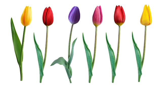 Tulips, Spring, Elements, May, Mother's Day, Flower