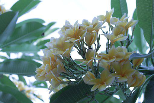 Cambodia, Garden, Flowers, Flowering, Blossom, Flora