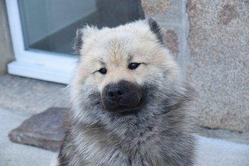 Dog, Portrait Of Dog Eurasier, Eurasier, Mascot