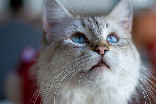 Kitten, Feline, Blue Eyes, Look, Pet