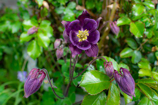 Columbine, Purple Flower, Flower, Spring