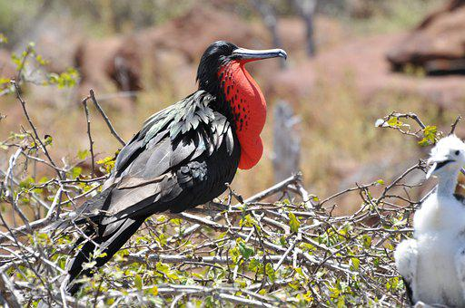 Frigate, Red, Bird, Galapagos, Hatching